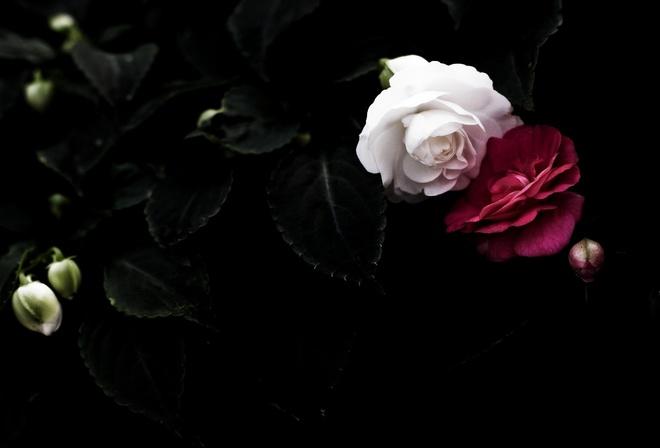 Лепестки фон розы листья на рабочий